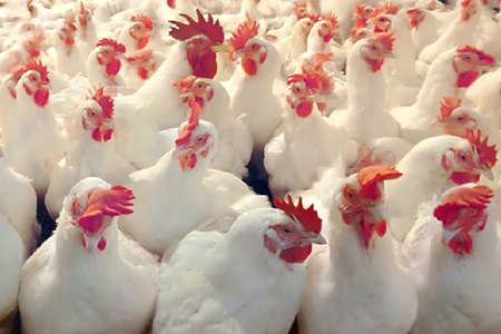 Broilers Poultry Grower Feeds